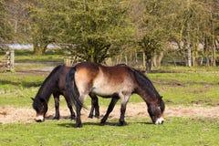 Zwei exmoor Ponys Lizenzfreie Stockbilder