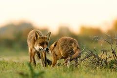 Zwei Füchse bei Sonnenuntergang Lizenzfreies Stockfoto