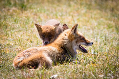 Zwei Füchse, die im Gras spielen stockbilder
