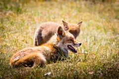 Zwei Füchse, die im Gras spielen stockfotos