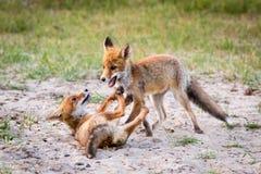 Zwei Füchse, die im Sand spielen lizenzfreie stockfotografie