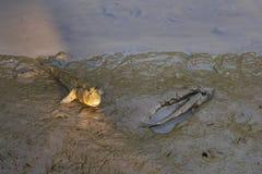 Zwei fand das lustige Schauen, reizende, thailändische gehende Fische, mit menschlich ähnlichem Gesicht, in ein Flussdeltamangrov Lizenzfreies Stockbild