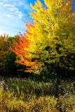 Zwei farbige Bäume Stockfotos