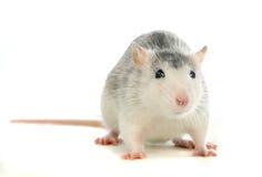 Zwei-farbige Ratte, die über Weiß sich wäscht Lizenzfreie Stockbilder