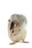 Zwei-farbige Ratte, die über Weiß sich wäscht Lizenzfreies Stockfoto