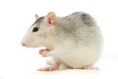 Zwei-farbige Ratte, die über Weiß sich wäscht Stockfotografie