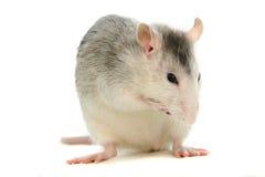 Zwei-farbige Ratte, die über Weiß sich wäscht Lizenzfreies Stockbild