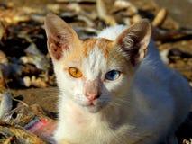 Zwei farbiges Augenkatze Chuim-Dorf Bandra Lizenzfreie Stockbilder