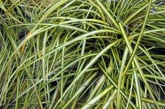 Zwei farbiges Gras. Stockbild