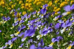 Zwei Farbkleine Blumen, welche die Sonne gegenüberstellen Stockfotos