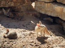 Zwei Fennec Foxs der Rest auf dem Sand an einem sonnigen Tag und an einem Drittel passt auf Opfer auf Stockfotos
