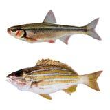 Zwei Fische des gestreiften Basses Stockbild