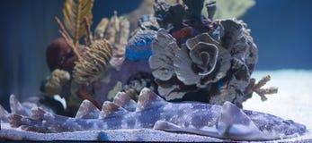Zwei Fische, die in einem Aquarium küssen Stockfotos