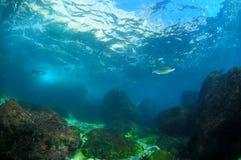 Zwei Fische nähern sich Oberfläche Stockbild