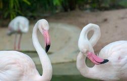 Zwei Flamingovögel steht miteinander, betrachtet man Kamera und der andere Flamingo ist Biegung sein Hals, zum Form der Nr. acht  Stockbild