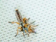 Zwei Fliegen, die sich essen stockfotos