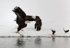 Zwei fliegend herauf kahlen Eagles und zwei Elster. Lizenzfreies Stockbild