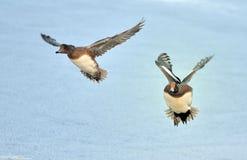 Zwei fliegende europäische Pfeifenten Lizenzfreie Stockfotos