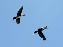 Zwei fliegende Kormorane Stockfotos