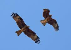 Zwei fliegende Schwarzmilane Lizenzfreies Stockfoto
