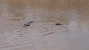 Zwei Flusspferd Dive And Swim In Muddy River Mara, die afrikanische Reserve 4K stock footage