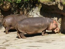 Zwei Flusspferde im Sun Lizenzfreies Stockfoto