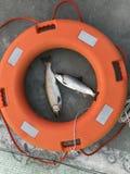 Zwei Forellen fingen während des Hwacheon-Eis-Fischen-Festivals, Korea stockbild