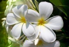 Zwei Frangipaniblumen Stockfoto