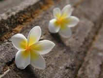 Zwei Frangipaniblumen Lizenzfreies Stockfoto