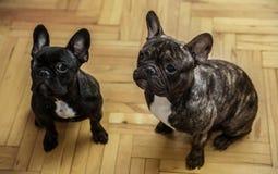 Zwei französische Bulldoggen, die auf Festlichkeiten warten Stockfotos