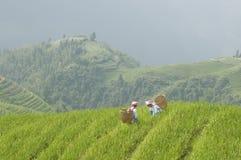 Zwei Frauen, die auf den Reisgebieten arbeiten Lizenzfreies Stockbild