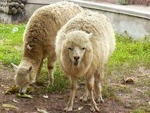 Zwei freie Alpakas Lizenzfreie Stockbilder