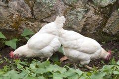 Zwei Freiland-Hühner, die unter Süßkartoffel-Anlagen verkratzen Stockfotos