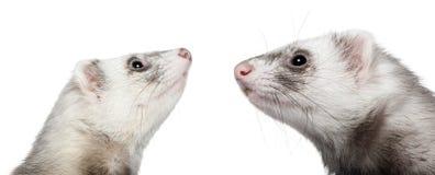 Zwei Frettchen, die einander, 1 Einjahres betrachten Stockfoto