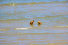 Zwei Freundhunde spielen im Meer Lizenzfreies Stockfoto