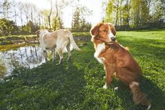 Zwei freundliche Hunde in der Sommernatur Stockfotografie