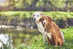 Zwei freundliche Hunde in der Sommernatur Stockbilder
