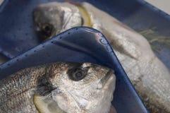 Zwei frische dorado Fische verpackt Lizenzfreie Stockbilder