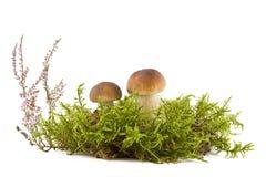 Zwei frische Pilze Stockfotos