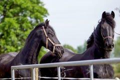 Zwei Frisianpferde Stockfoto