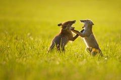 Zwei Fuchsjunge, die im Sommersonnenuntergang spielen Lizenzfreie Stockfotos