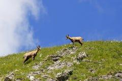 Zwei Gämsen auf einem Hügel Stockfotografie