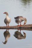 Zwei Gänse stehen auf einem Klotz und im Wasser reflektiert Lizenzfreie Stockfotos