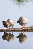 Zwei Gänse stehen auf einem Klotz und im Wasser reflektiert Stockfotos