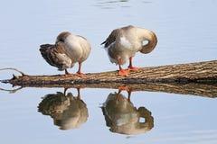 Zwei Gänse stehen auf einem Klotz und im Wasser reflektiert Lizenzfreies Stockfoto