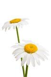 Zwei Gänseblümchen. Stockfoto