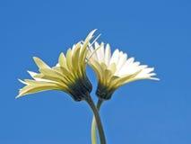 Zwei Gänseblümchen auf blauem Himmel Lizenzfreie Stockfotografie