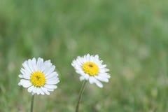 Zwei Gänseblümchen in einem Garten lizenzfreie stockfotos