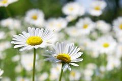 Zwei Gänseblümchenblumen Stockbild