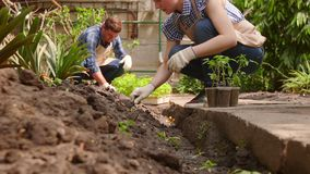 Zwei Gärtner verpflanzen Sämlinge im offenen Boden von den kleinen Töpfen stock footage